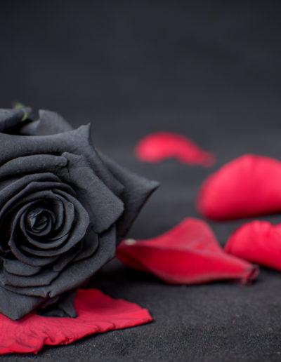 Rosa Negra sobre ptalos rojos